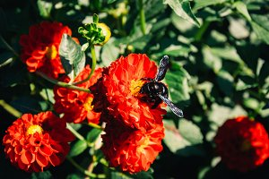 Flowers and Black Bumblebee #03