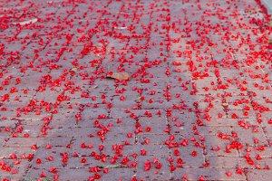Flowers Australian brachychiton acerifolius, commonly known as the Illawarra Flame Tree.