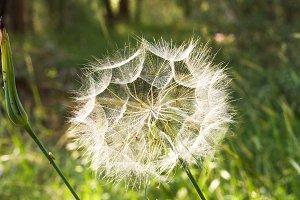 wild dandelion