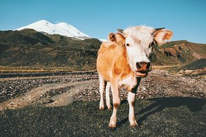 Cow funny Farm Animal in mountains