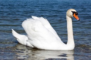 Graceful white Swan on a blue lake