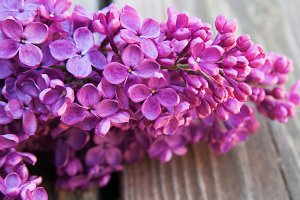 Purple Lilac on Wooden Boards