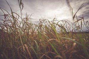 The Tall, Tall Grass