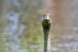 Goose close-up