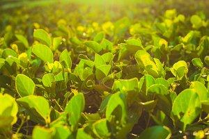 Plantation of tea bushes