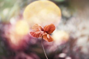 Beautiful dreamy poppy and bokeh