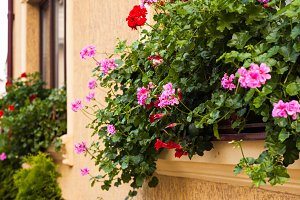 Pots with pelargonium
