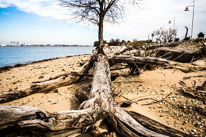 Bare Tree and Driftwood
