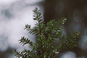 Delicate Hemlock Branch