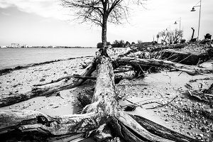 Barren Tree and Driftwood