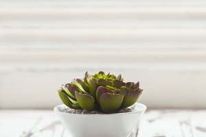 Succulent as a home decor