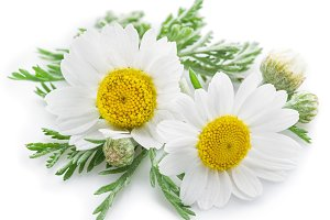 camomile flowers isolated