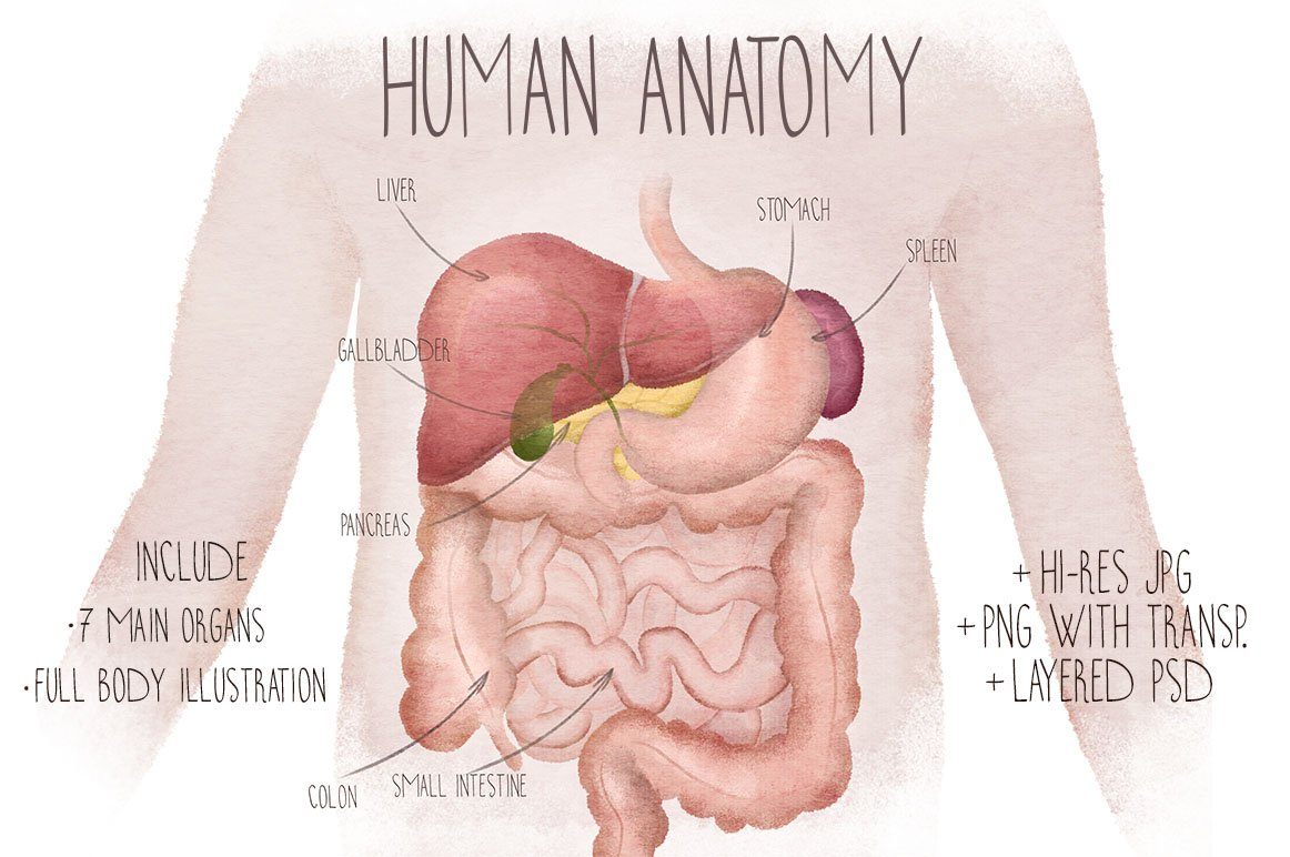 Human Anatomy Watercolor Organs Illustrations Creative Market