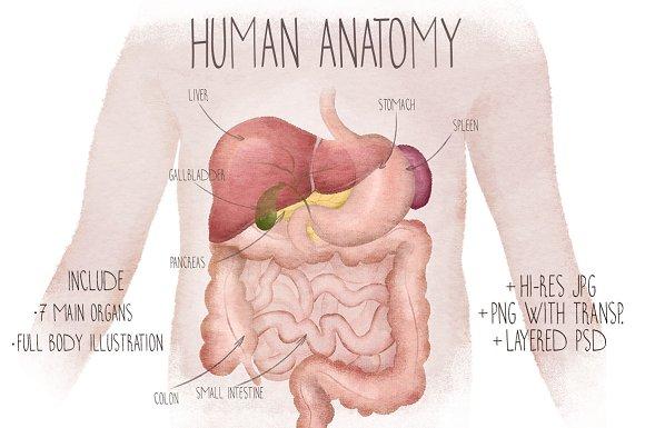Human Anatomy Watercolor Organs Illustrations Creative Market