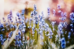 Lavender colorful mood