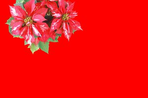 Poinsettia Christmas Star red