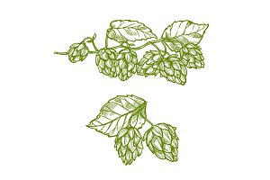 Hops plant sketch for food and drinks design