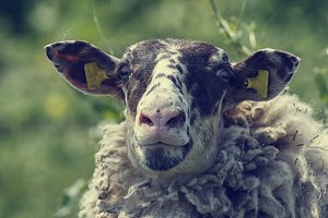 Sheep in close up