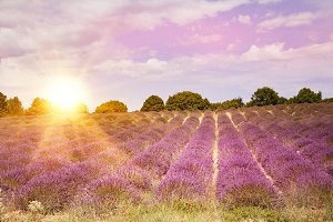 Lavender bushes on sunset.