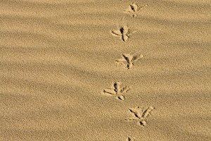 Footprints  of a bird