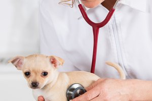 Veterinary with a Chihuahua puppy