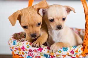 Two chihuahuas puppies in a basket