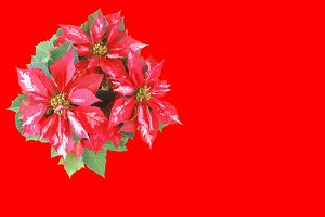 Poinsettia Christmas Star red