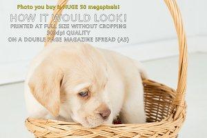 Golden Labrador puppy 8 weeks old