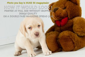 Golden Labrador puppy with teddy