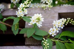 Flowering of bird cherry tree