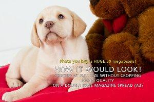 Golden Labrador puppy at 8 weeks