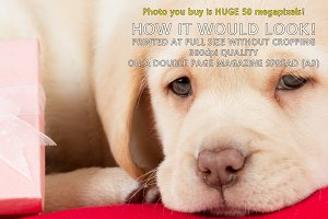 Golden Labrador puppy with a gift