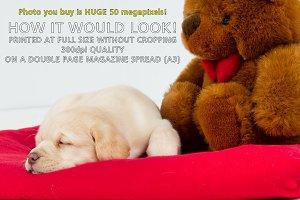 Golden Labrador puppy with Teddy