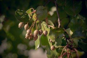 Brown Berries
