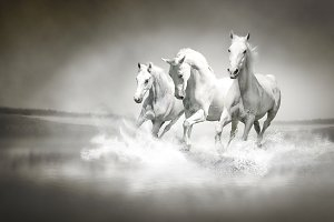 Herd of white horses