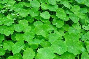 Green leaves of nasturtium