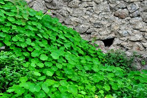 green nasturtium leaves and wall