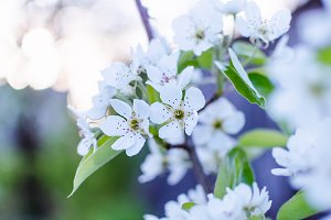 Spring blossom of the tree