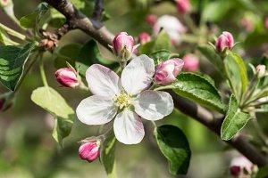 Blooming apple tree twig.