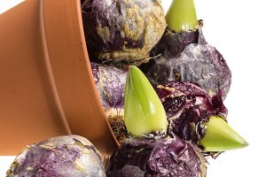 Pot with hyacinth bulbs