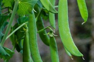 Green pea pods on bush