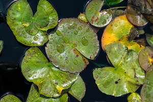 Water lily pads on pond