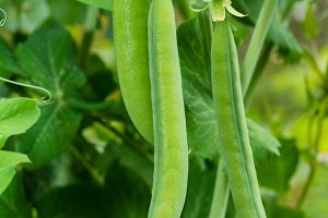 Green pea pods ready to eat