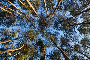 Looking up from under the pines