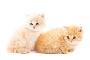 Two red kittens
