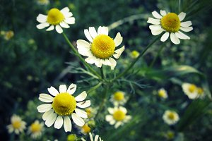 Yellow camomile (5 photos)