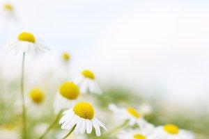 Chamomile flowers close-up
