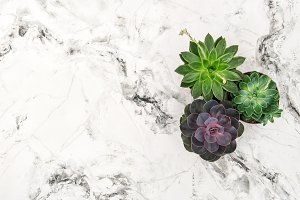 Succulent plants marble background