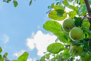 Apple tree branch with apples green