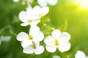 White flowers and sun